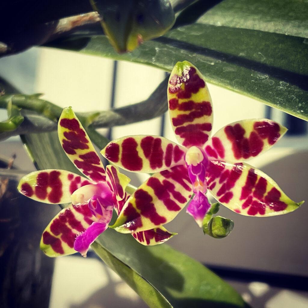 Foto del fiore della Phalaenopsis bastiani, un fiore di picocle dimensioni, circa 3cm con fondo bianco e striature rosso porpora. I petali sono molto lucidi, quasi cerati. Particolare il labello di colore fucsia.